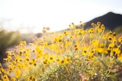Un champ de fleurs jaunes.