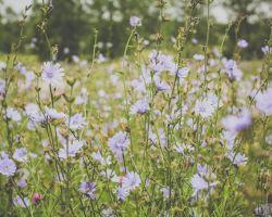 Un champ de fleurs mauves pâles.